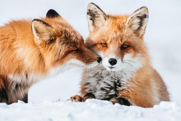 fox-photo-131