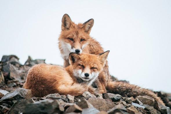 fox-photo-151