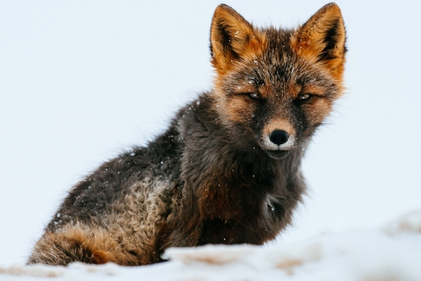fox-photo-161