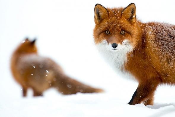 fox-photo-17