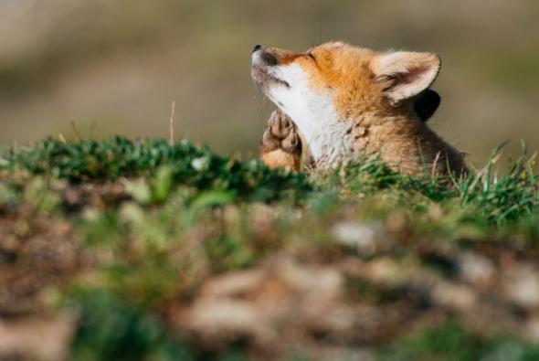 fox-photo-187