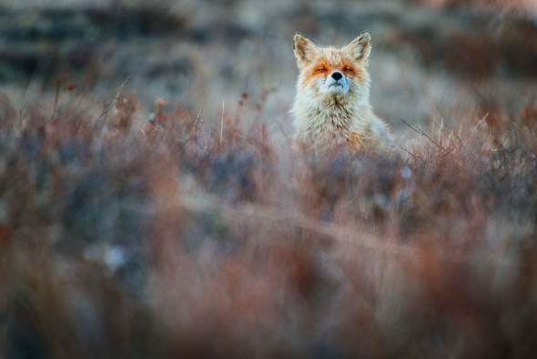 fox-photo-2