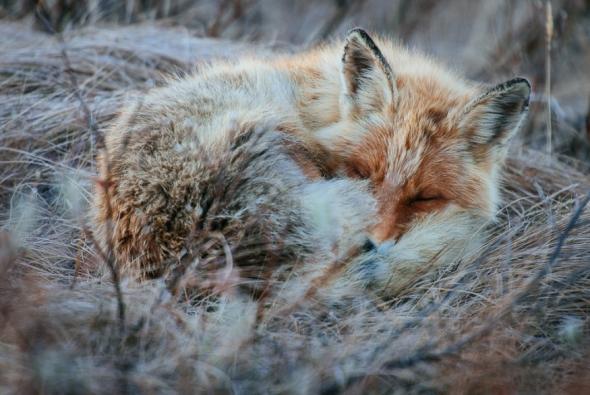 fox-photo-35