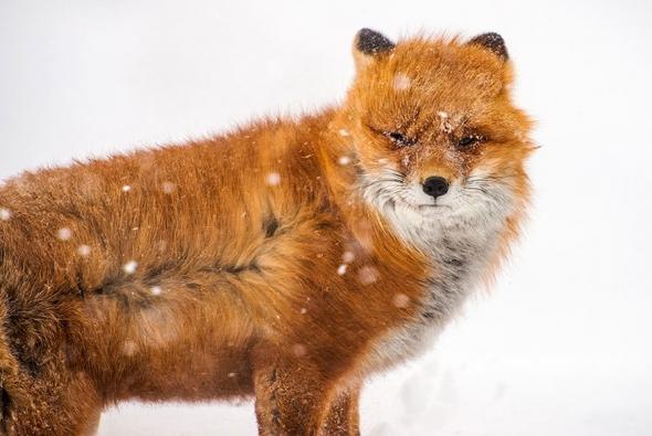 fox-photo-5