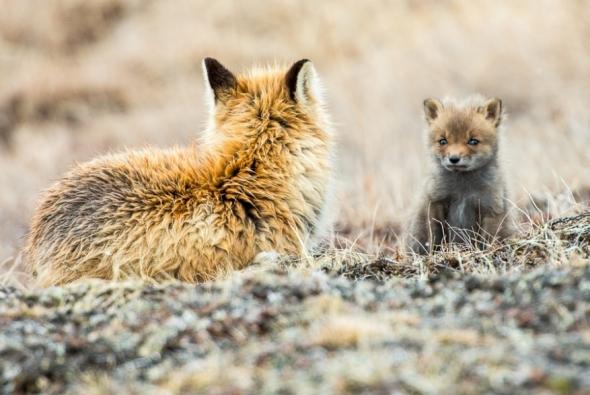 fox-photo-529