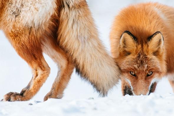 fox-photo-8