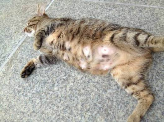 беременная-кошка