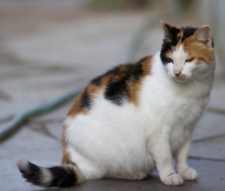 беременность-кошка