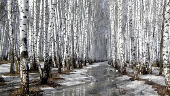 березовый-лес-весной
