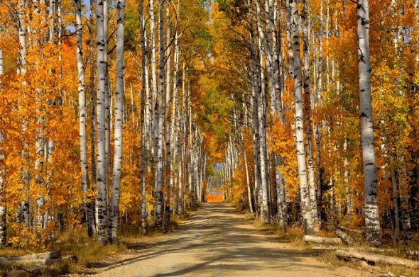 березовый-лес-осень