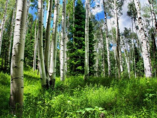 березы-в-лесу