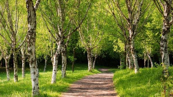 дорога-в-березовом-лесу