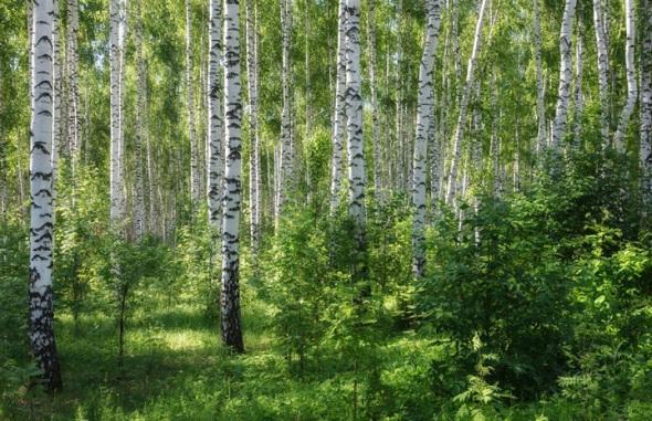 лето-березовый-лес