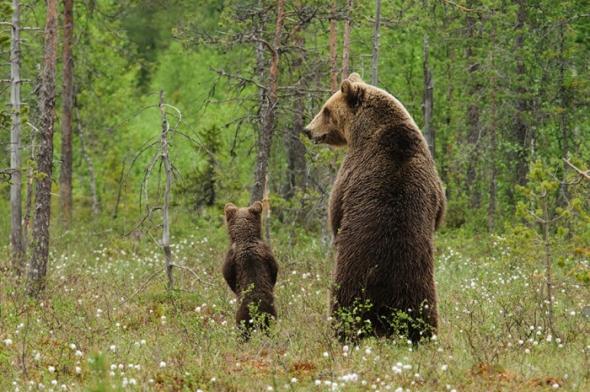 Bear-Parenting-12