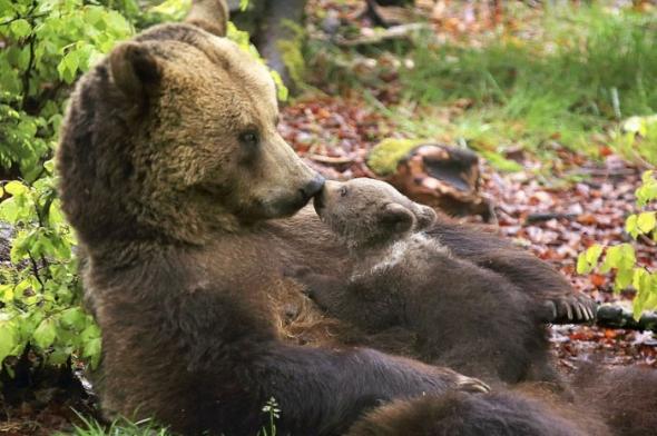 Bear-Parenting-27