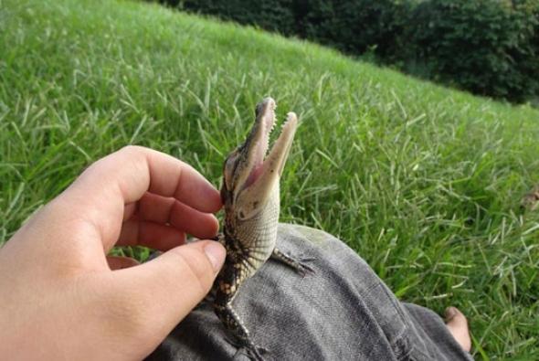 детеныш крокодила
