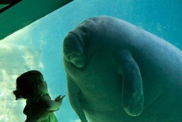 морской слон в аквариуме