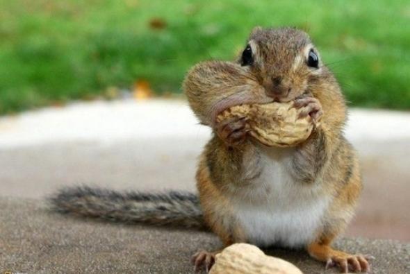 бурундук прячет орех
