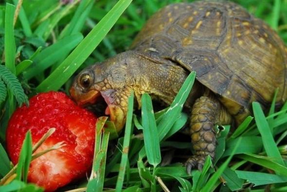 черепаха кусает клубнику
