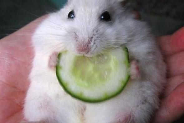 мышка кушает огурец