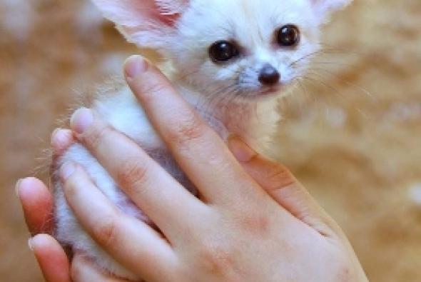 Маленькая лисичка фенек фото
