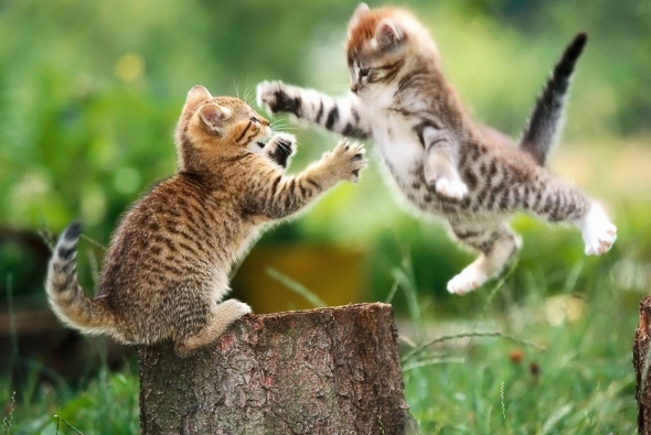 два маленьких котенка дерутся