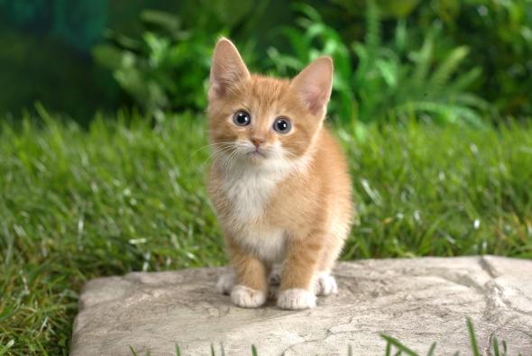 рыженький маленький кот