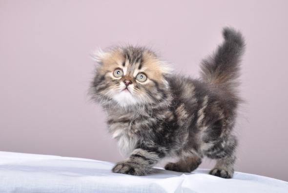 очень пушистый котенок