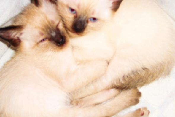 сиамские котята спят