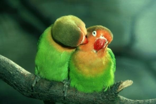 цемы попугайчиков