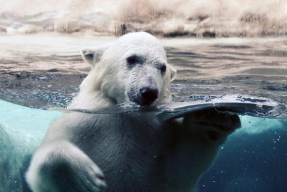 водные процедуры белого медведя