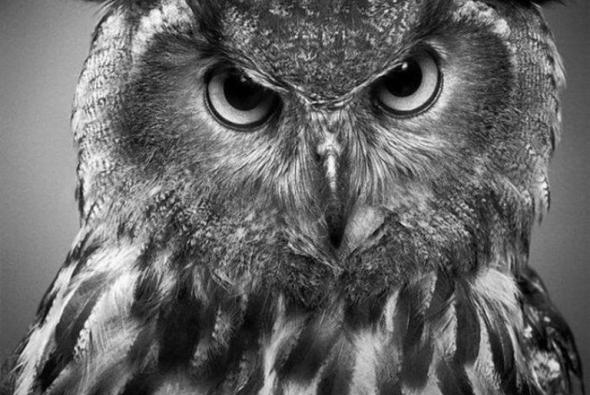 рисунок карандашом совы