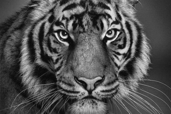 тигр нарисован карандашом