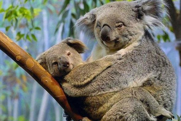 roditelskaya-lubov-koala