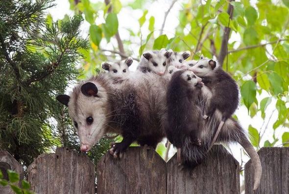 roditelskaya-lubov-oposum