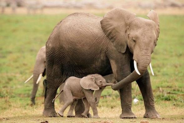 roditelskaya-lubov-slon