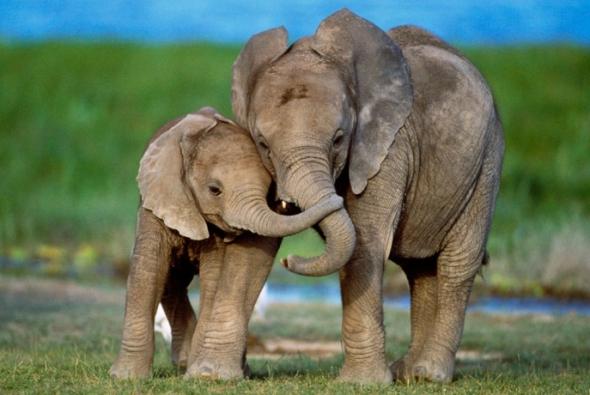 roditelskaya-lubov-sloni