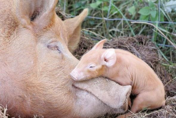 roditelskaya-lubov-svini