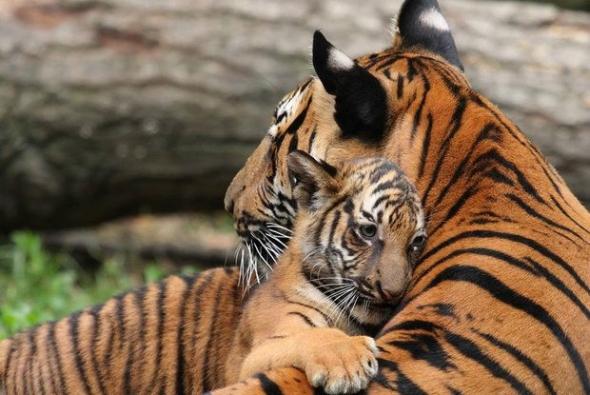 roditelskaya-lubov-tigri