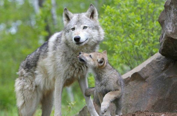 roditelskaya-lubov-volk
