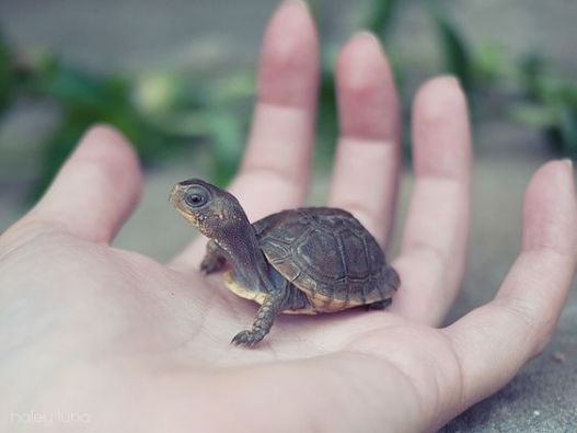 small-turtle1