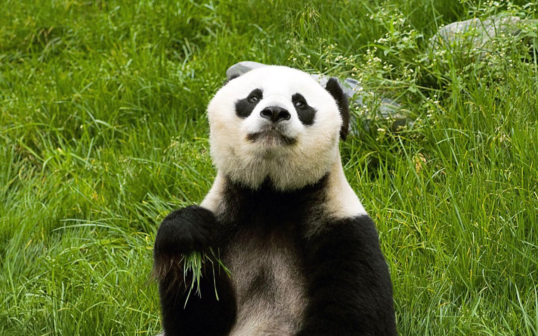 Маленькие панды ( 27 фото )