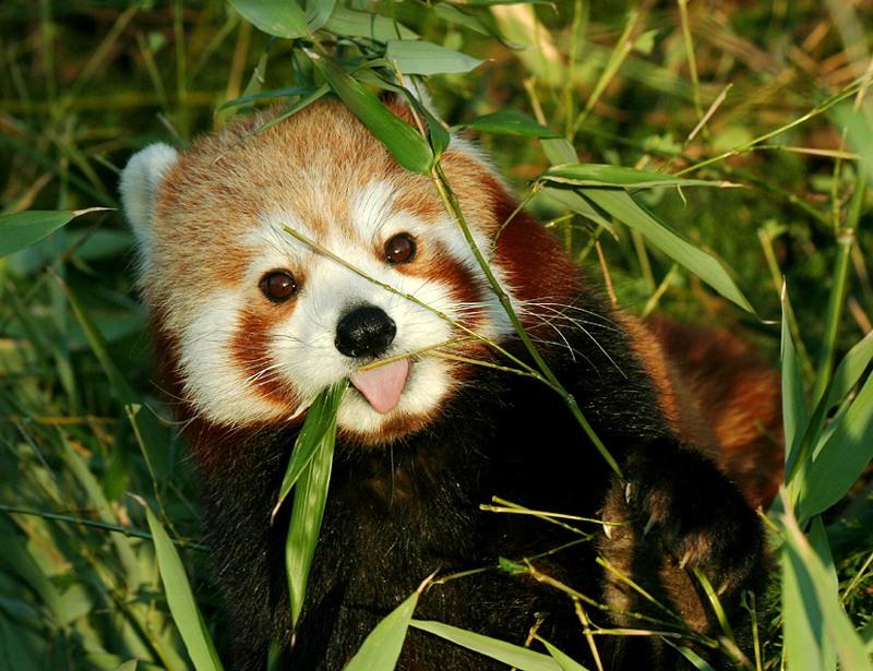 Красная панда ( 20 фото )