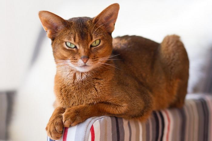 Самые красивые породы кошек (12 фото)
