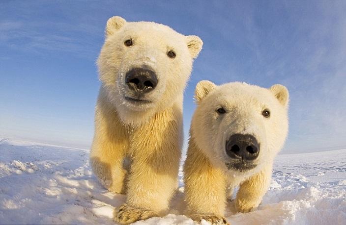 Белые медведи (20 фото)