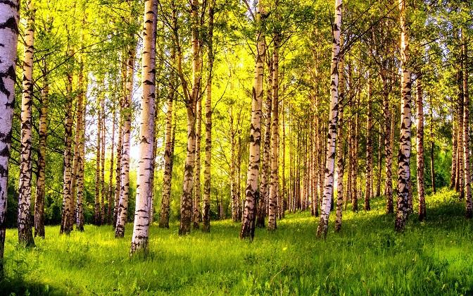 Березовый лес (22 фото)