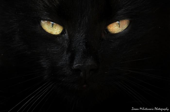 Фото черных кошек (40 фото)