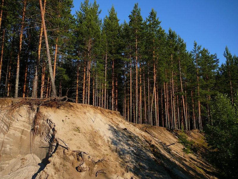 Сосновый лес ( 20 фото )