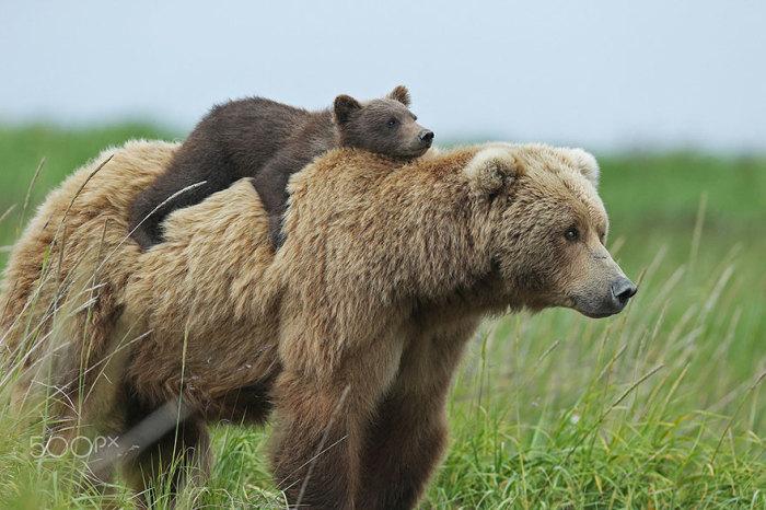 Бурая медведица с медвежатами (20 фото)