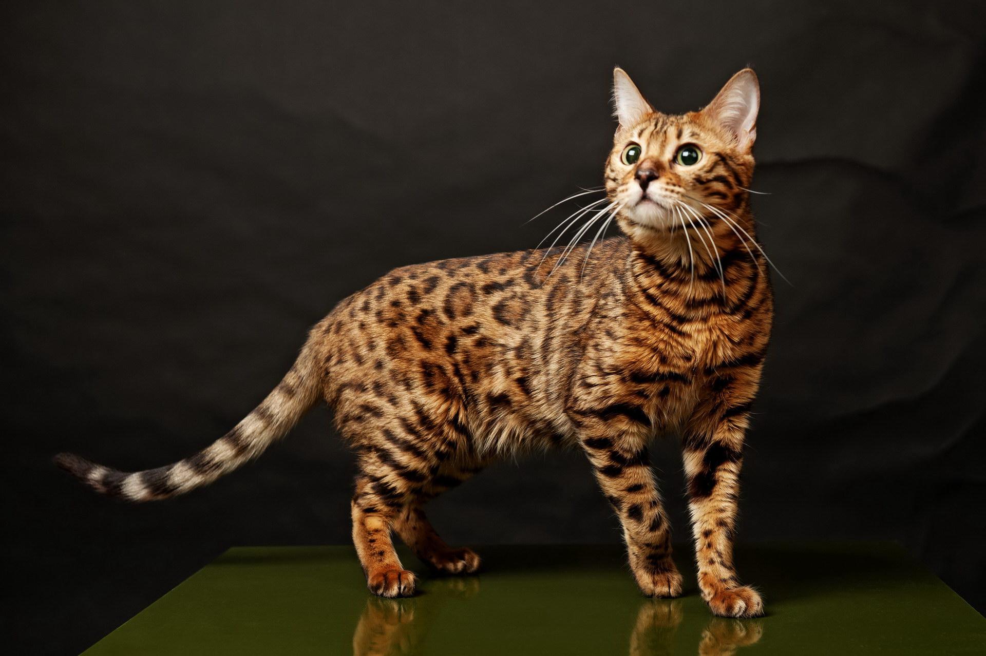 Бенгальская кошка (17 фото)